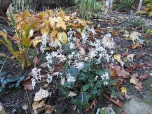 Saxifraga cortusifolia var. fortunei 'Rubrifolium'