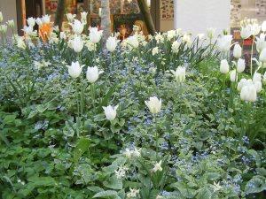 Tulipa Hybr.'Maureen',Tulipa 'Spring Green' mit Brunnera macrophylla 'Jack Frost'
